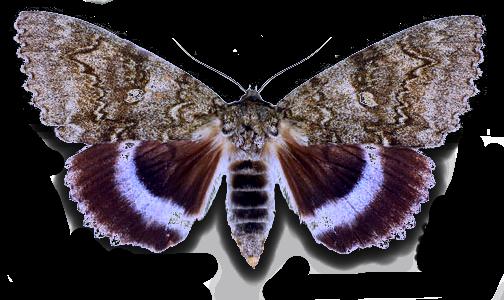 Ленточница голубая бабочка