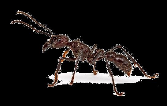 Посвящение в мужчины муравьями