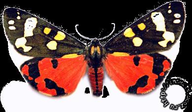 Медведица госпожа бабочка