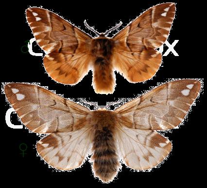 Шелкопряд березовый бабочка
