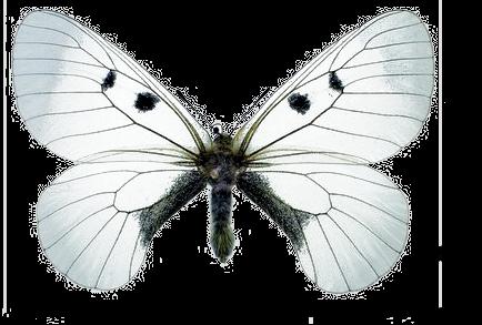 Мнемозина бабочка