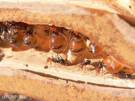 Вкусные муравьи - Живые медовые бочки