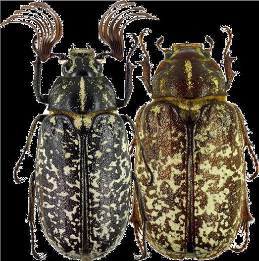 Мраморный хрущ жук