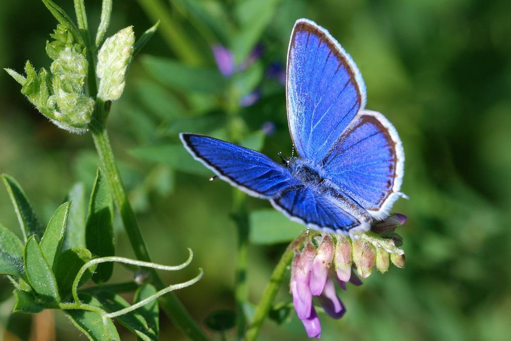 Голубянка агрирогномон бабочка