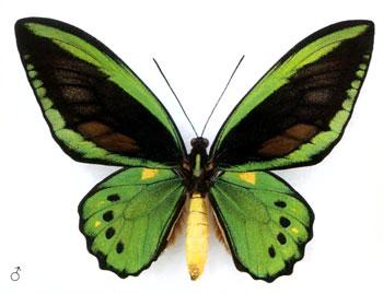 Птицекрыл Приам бабочка