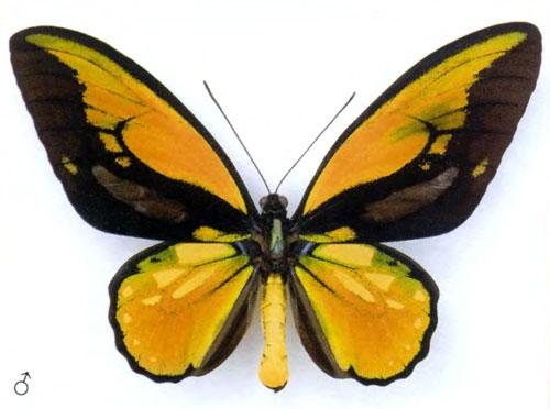 Райский птицекрыл бабочка
