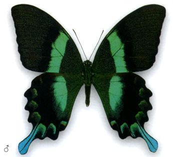 Парусник Блюме бабочка