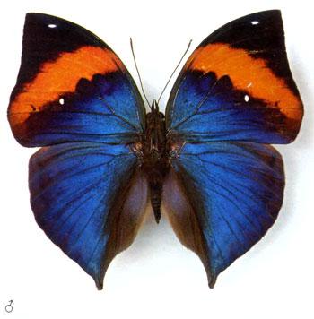Каллима бабочка