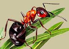 Как избавиться от муравьев на саду