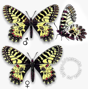 Поликсена бабочка