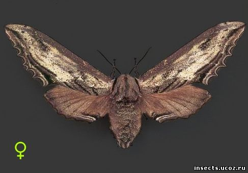 Лангия древесницевидная бабочка