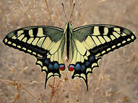 Семейство Парусники Род Papilio Махаон